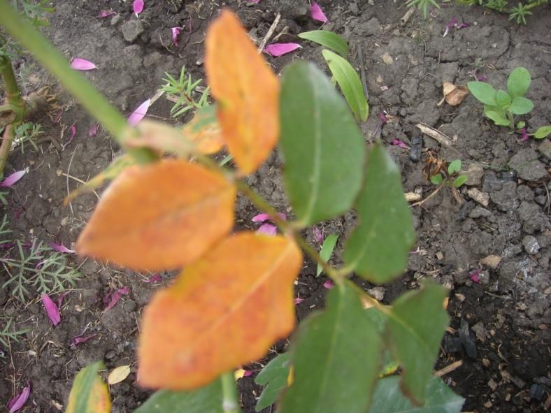 Почему на розах опадают листья