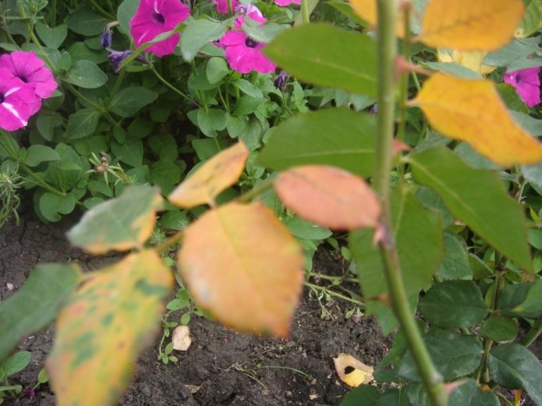 Листья роз желтеют и опадают