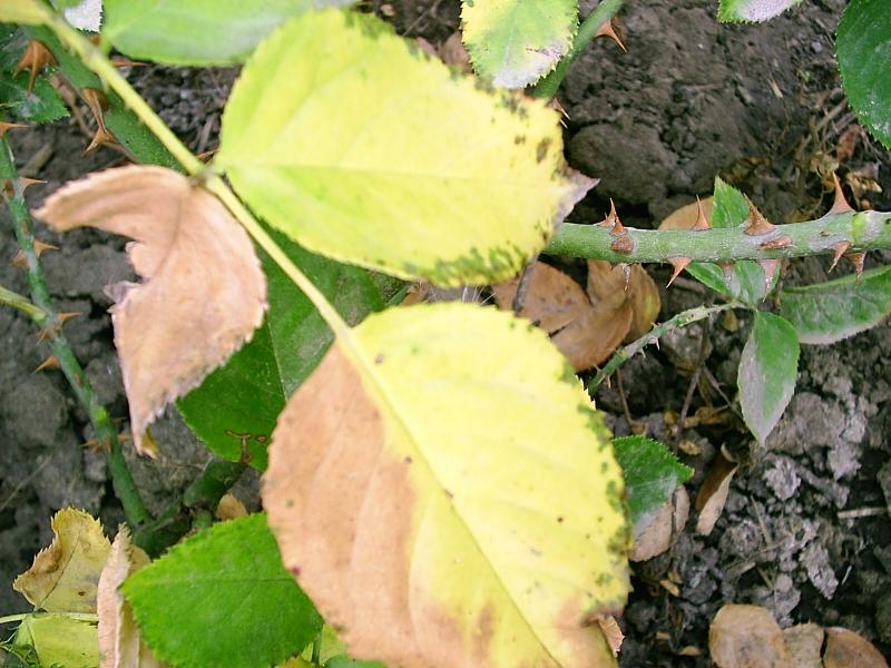 Почему сохнут листья у розы