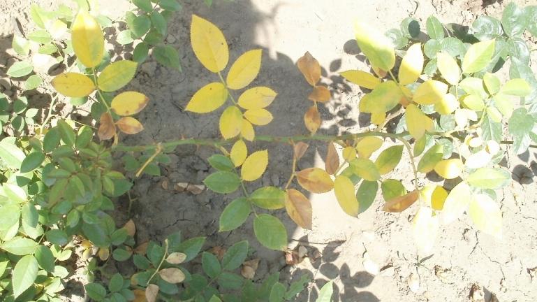 Желтеют листья у розы что делать