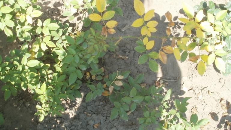 Почему с розы опадают листья