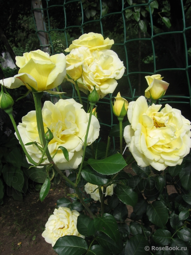 фото Роз энциклопедия роза казино