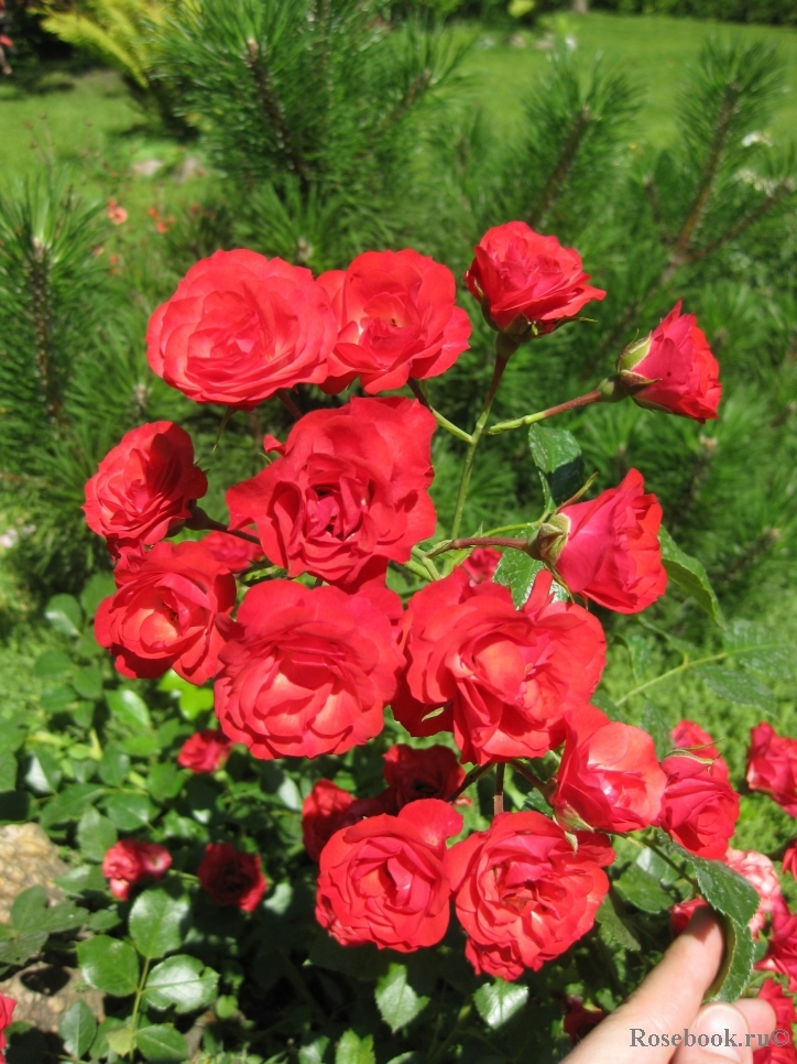 Роза scarlet meillandecor