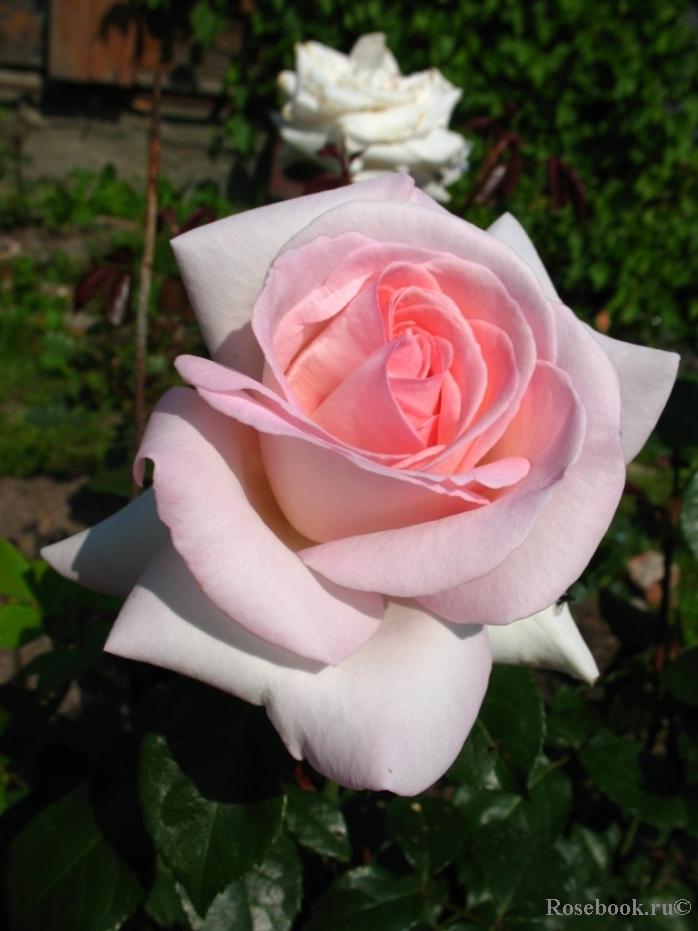 Роза александр пушкин энциклопедия роз