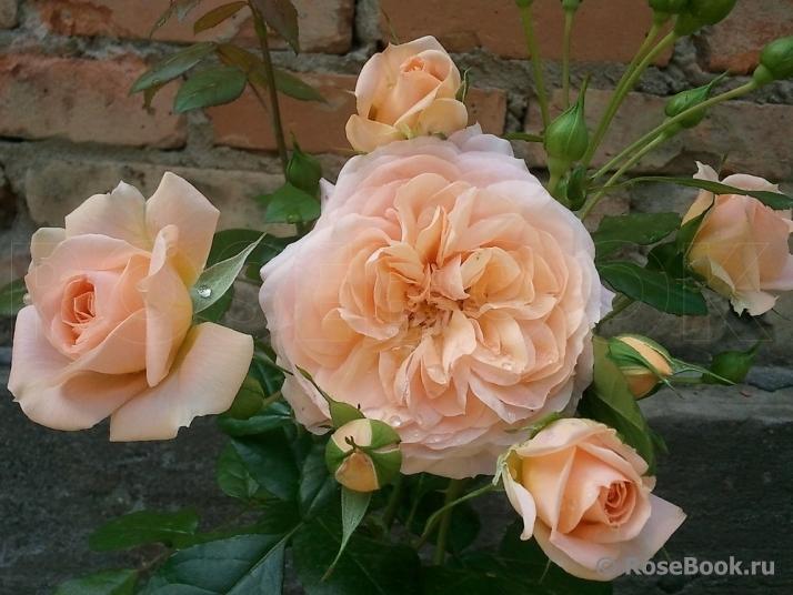 Роза sourire du havre