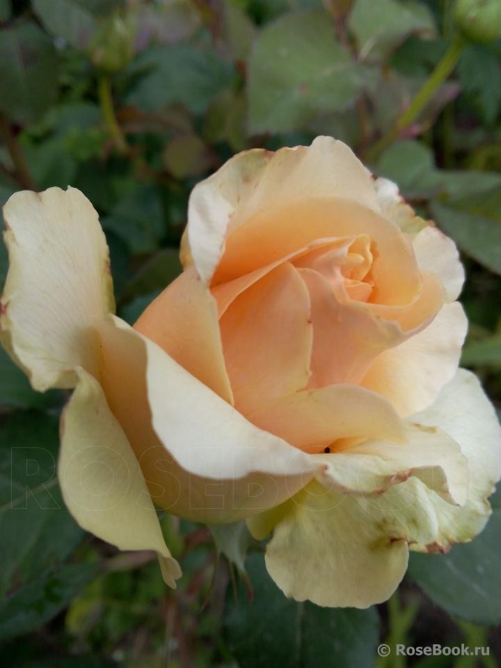Сорт розы примадонна фото