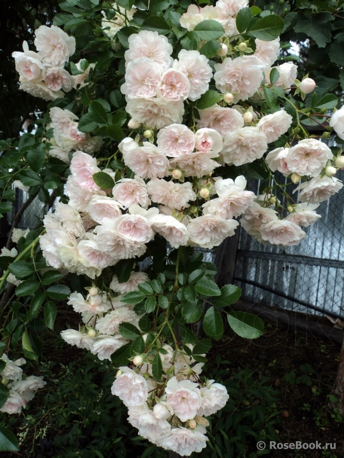 Дороти перкинс роза энциклопедия роз