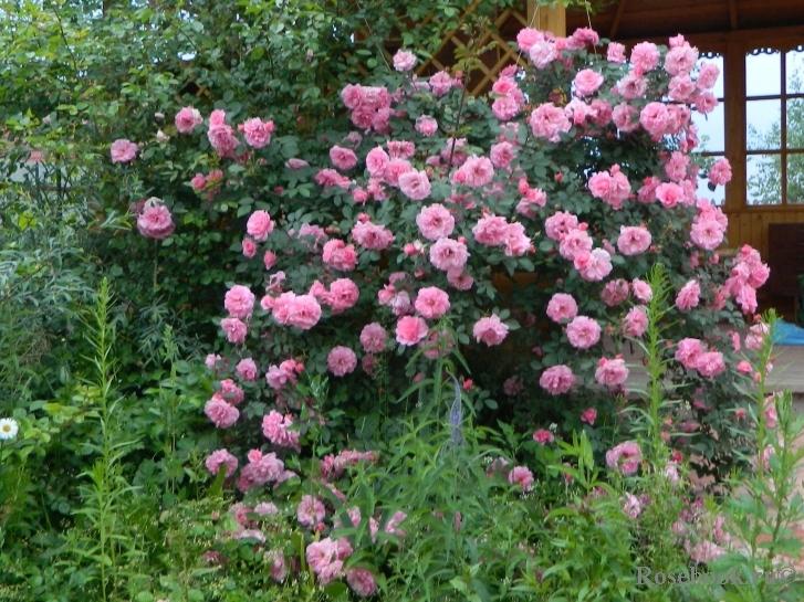 Роза чамплейн канадская