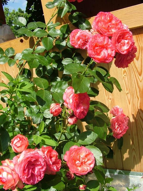 Роза антик 89 энциклопедия роз