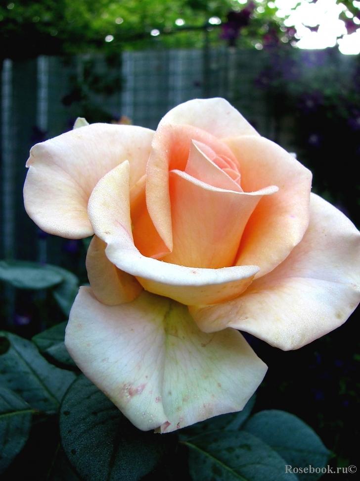 Смотреть онлайн rose monroe 26 фотография