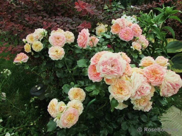 Роза концерто энциклопедия роз