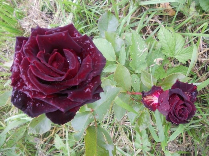 Роза фиджо негро