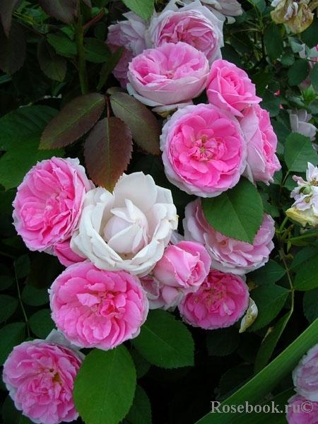 Prairie joy роза энциклопедия роз