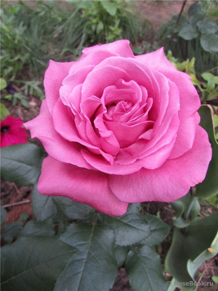 Роза сорт блю парфюм