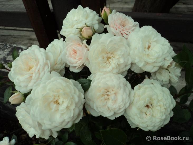 Роза алинка энциклопедия роз