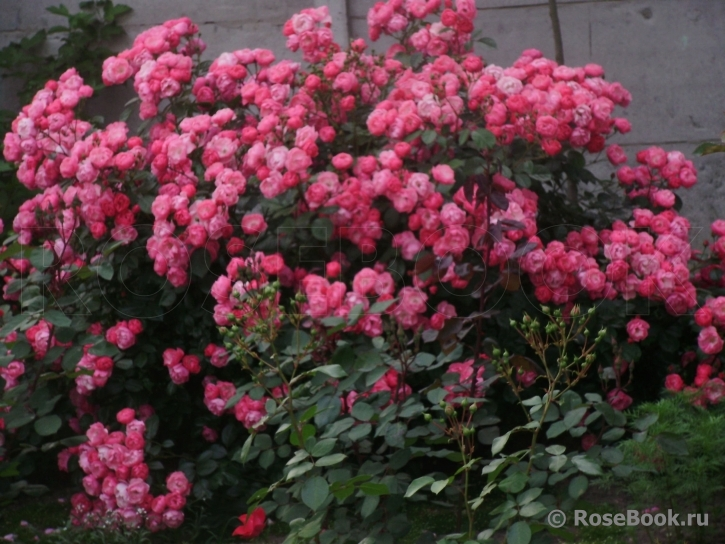 Роза анжела энциклопедия роз