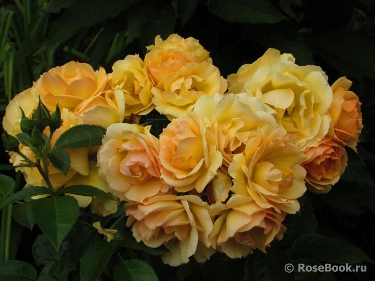 rose hansestadt rostock