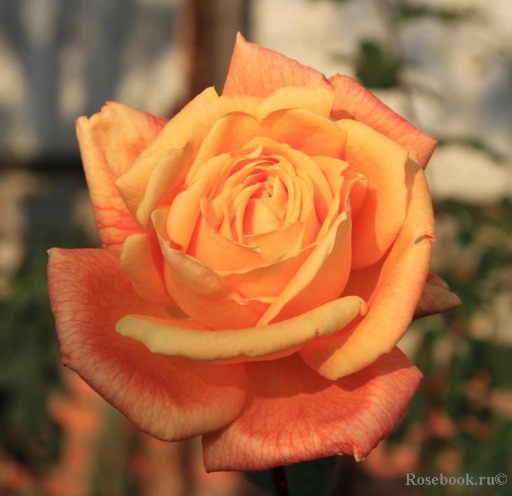 Роза ламбада энциклопедия роз