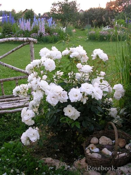Уход за бордюрными розами в домашних условиях 833