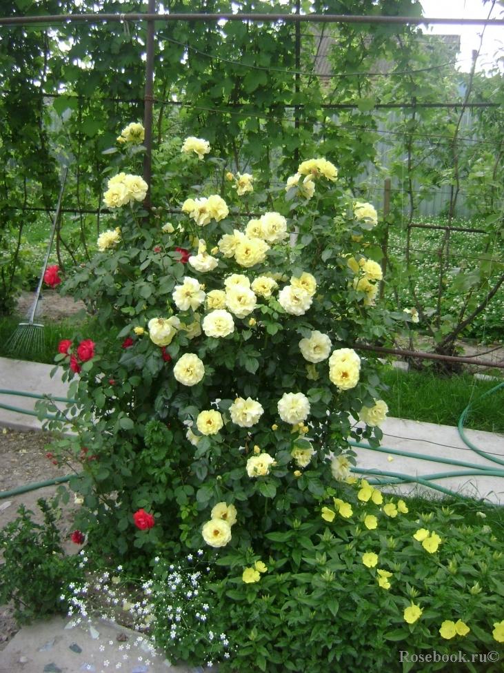 Lichtkonigin lucia роза