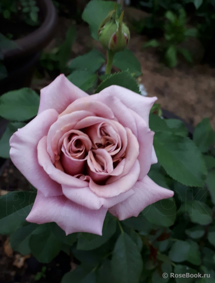Роза Коко Локо: флорибунда, фото, описание, уход