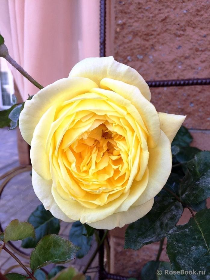 официальный сайт роза казино энциклопедия роз