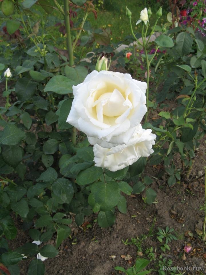 Роза шопен энциклопедия роз