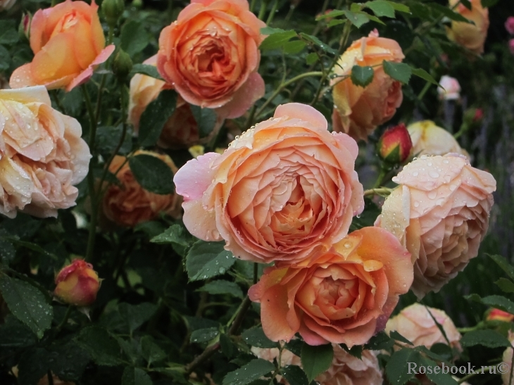 http://www.rosebook.ru/components/roses/images/pictures/big/33650.jpg
