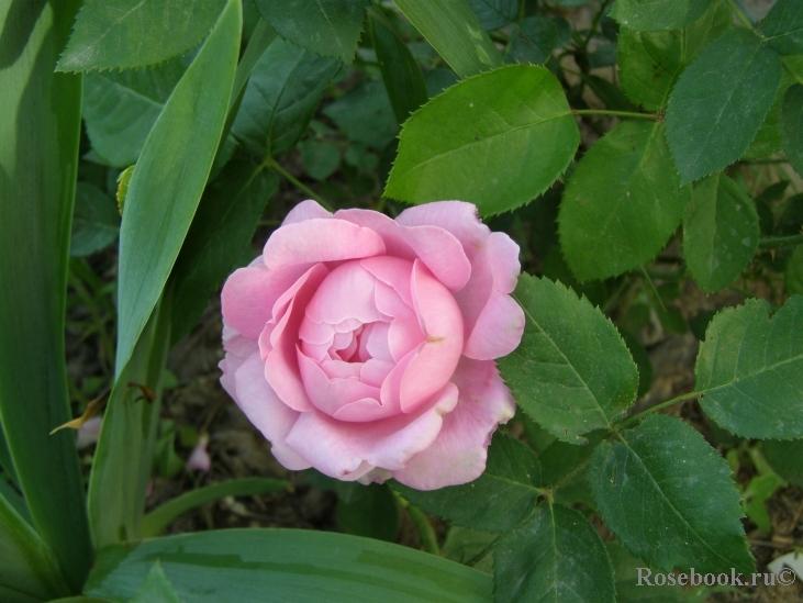 розы андерковер фото