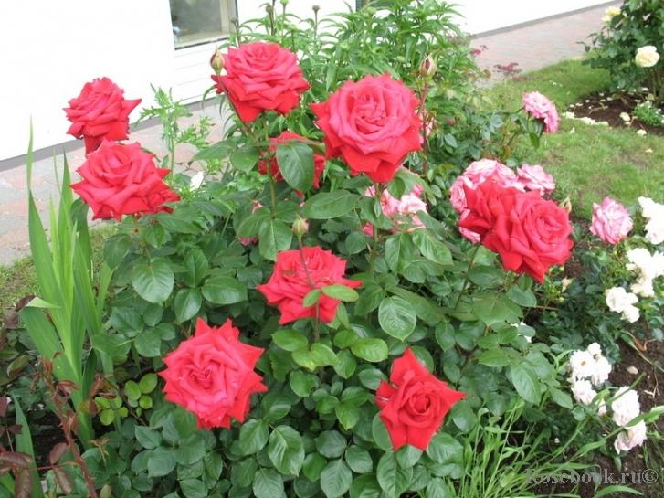 Роза бургунд энциклопедия роз