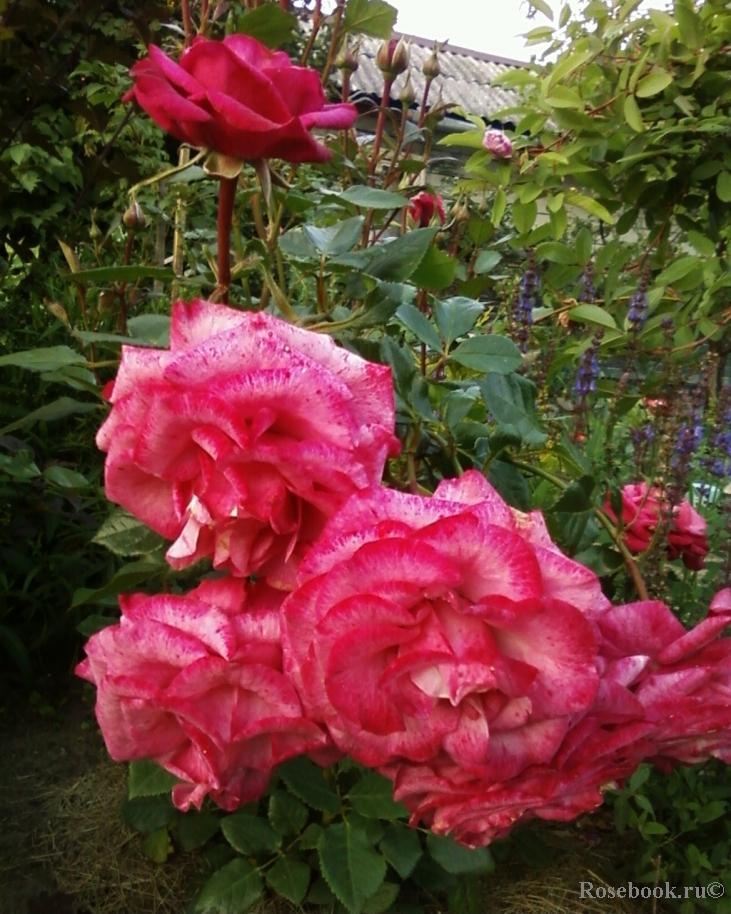 розовая роза Регина Палас
