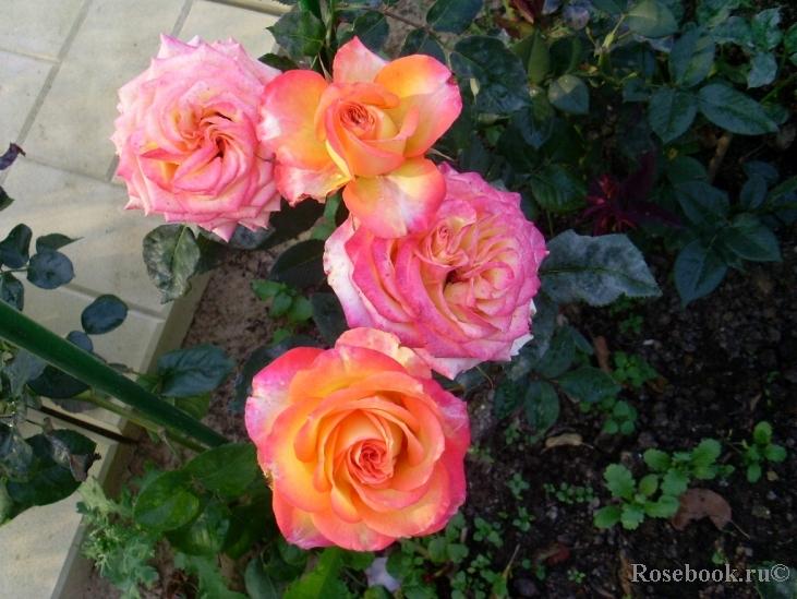 Роза утопия фото и описание и уход