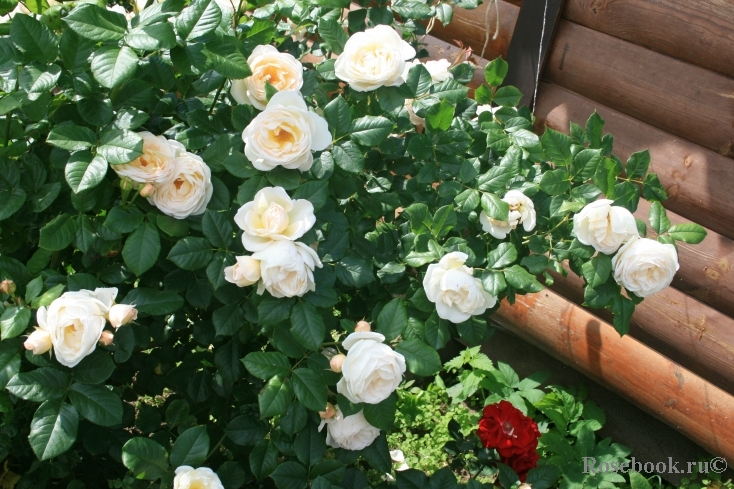Uetersener klosterrose роза
