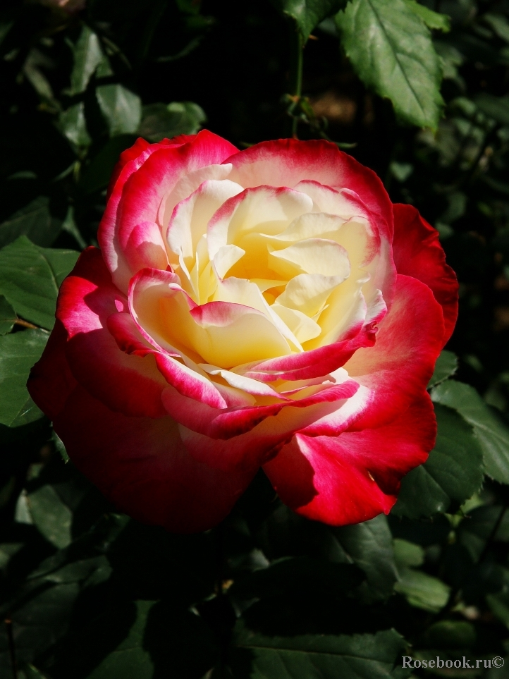 Double delight rose