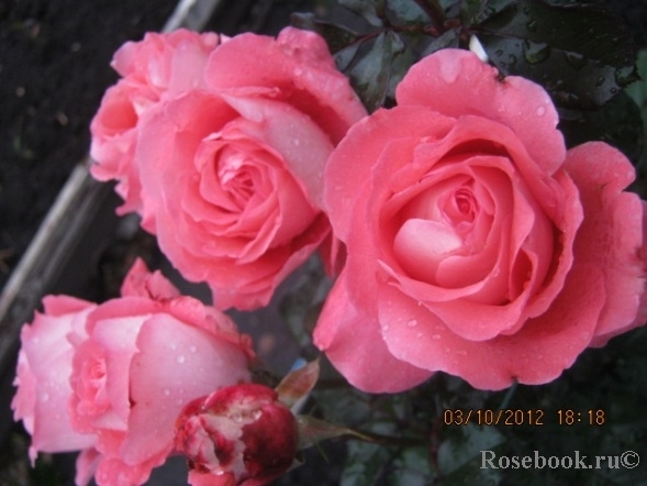 Вайкики роза энциклопедия роз