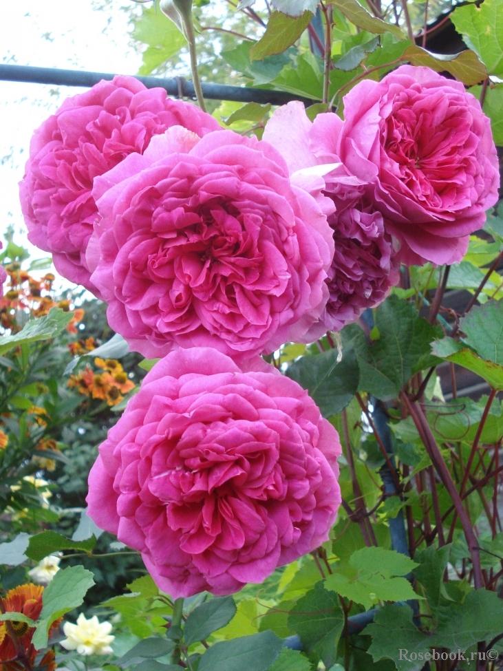 роза плетистая казино отзывы фото