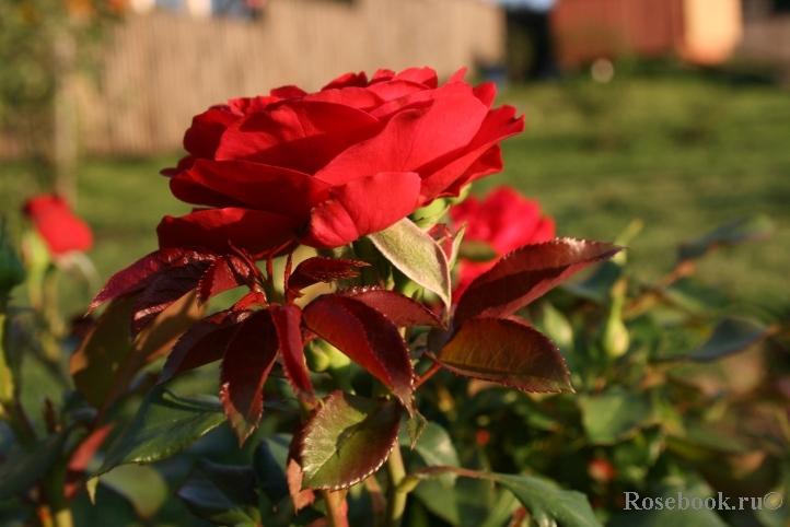 lisa rose фото