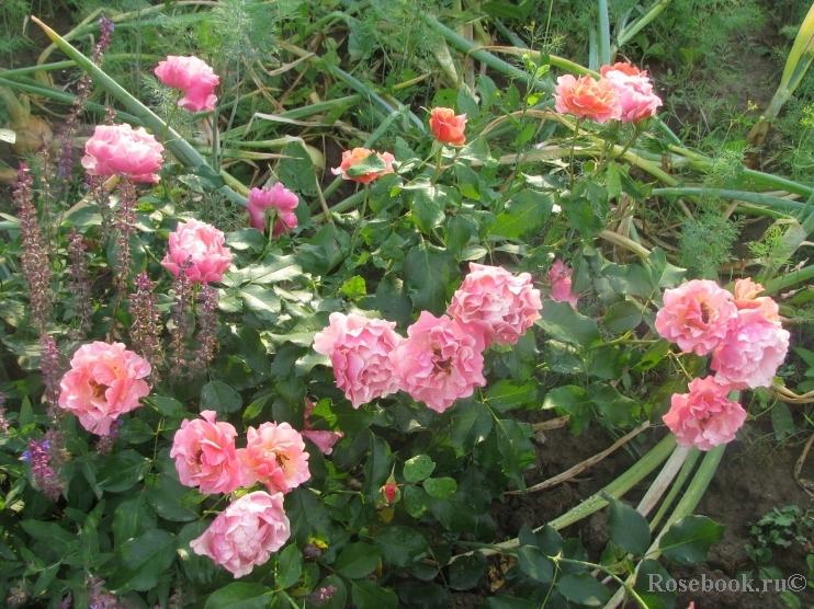 Jean cocteau роза энциклопедия роз