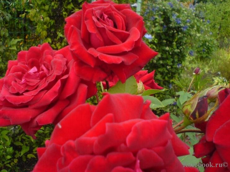 Ena harkness climbing роза