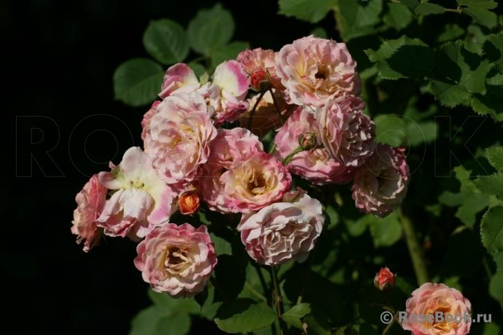 Роза мишель бедросьян энциклопедия роз 3