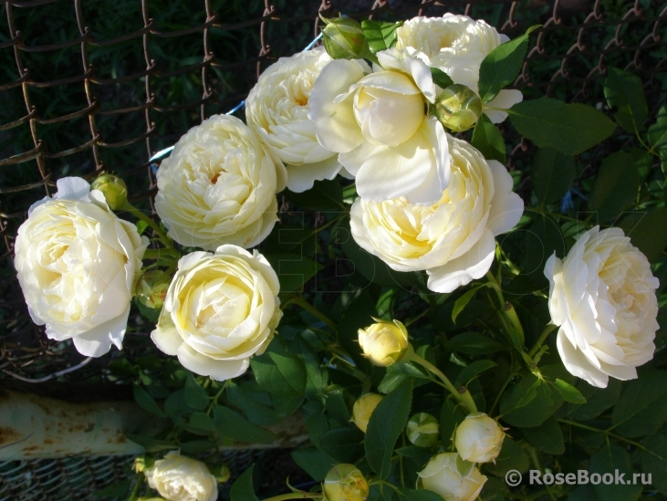 rose claire austin