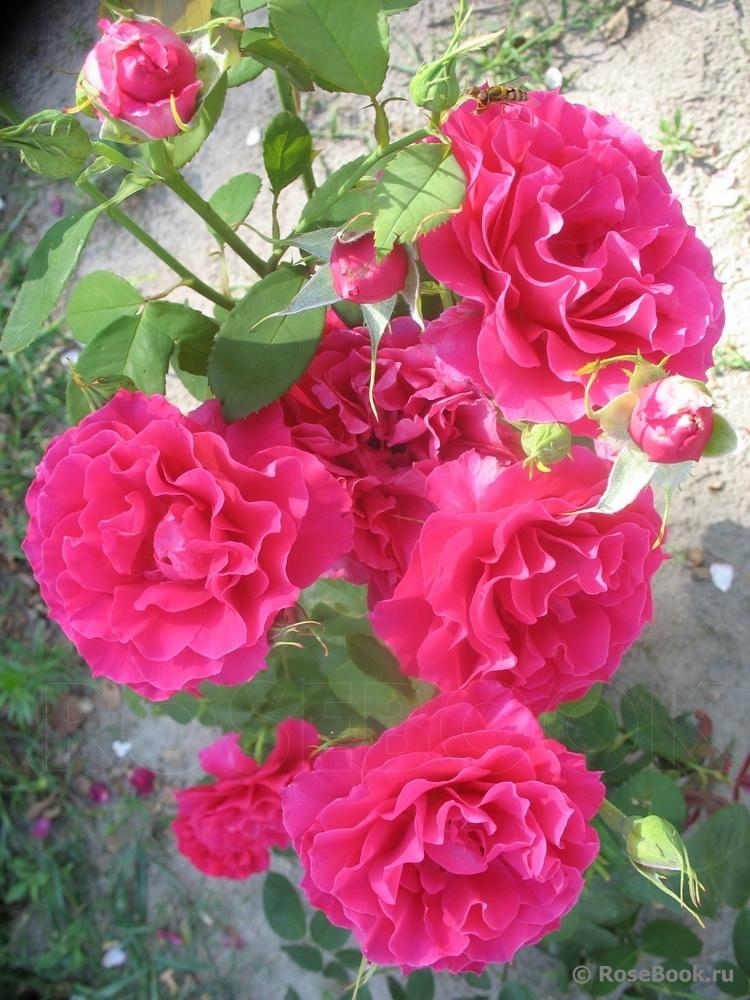 Souvenir d edouard maubert роза