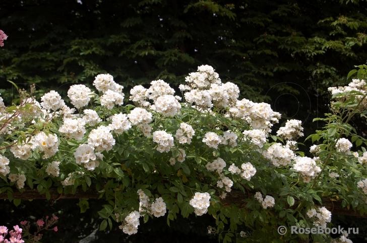 талия фото роза