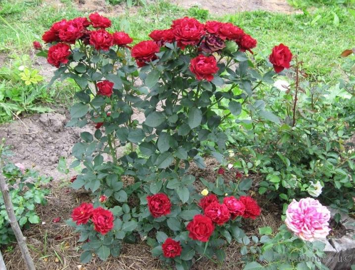 Роза hommage a barbara