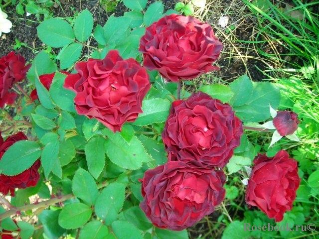 Роза hommage a barbara купить