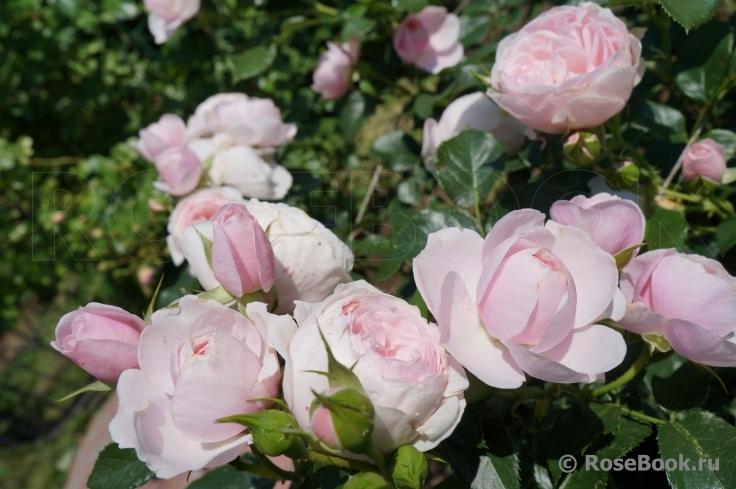 Роза hans gonewein rose