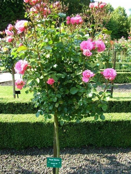 1 royal garden саженцы роз 1255631417