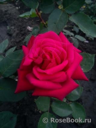 The Rose film  Wikipedia