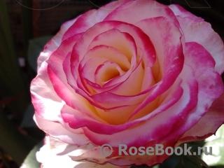 Роза свитнесс энциклопедия роз