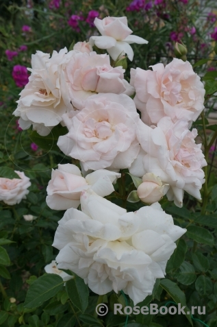 Роза грациоза энциклопедия роз